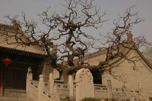 habit of old tree, winter