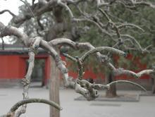 detail of pruning, winter