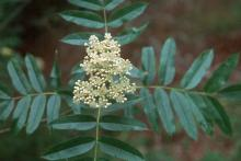 flower cluster and leaves, May