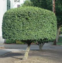 shrub/tree, sheared