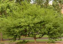 plant habit, shrub/tree