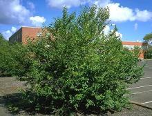 plant habit, shrub form