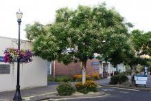 plant habit, street tree