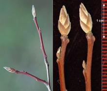 twigs and buds, winter