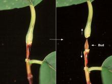 leaf petiole and enclosed bud