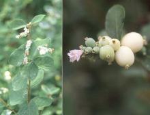 developing fruit