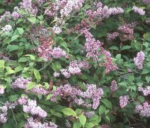 flowering shoots
