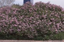 grown as a hedge, flowering