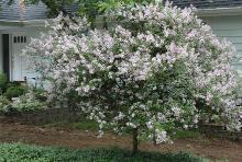 grown as a tree, flowering