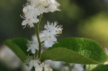 flower cluster and leaf