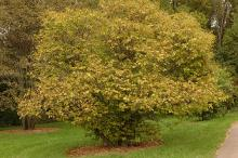 plant habit (shurb), fall