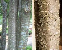 Syringa Reticulata Landscape Plants Oregon State