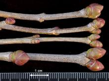 winter twigs, buds