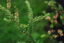 branchlets and needles