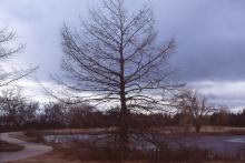 plant habit, winter (Dyck Arboretum of the Plains, Hesston, KS)