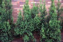 plant habit ('Hicksii')