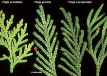 branchlets, comparison