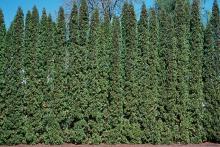 plant habit, tall screen