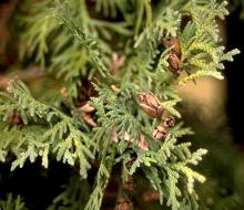 branchlets and mature cones