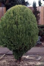 plant habit, a dwarf selection