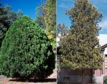 plant habit, older plants