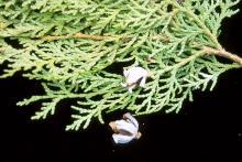 branchlets, mature cones