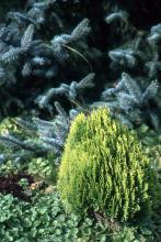 plant habit, young plant