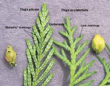 leaves (underside), comparison