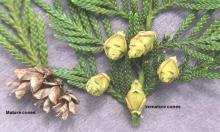 leaves and cones