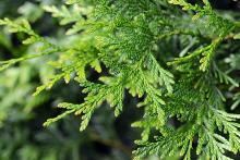 branchlets, leaves