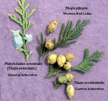 branchlets and cones, comparison