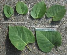 leaf size variation