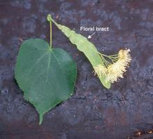 leaf and flower cluster