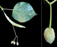 leaf, bract and fruit