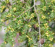 leaves and male cones