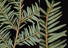 branchlets and needles, underside