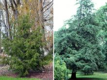 plant habit, young and older (darker) tree