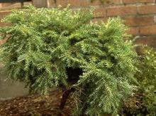 plant habit, improperly pruned