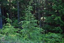 in habitat, young trees in early summer