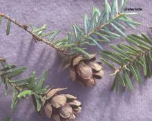 cones (open) and needles