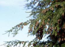 branches with cones