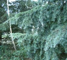 branch habit