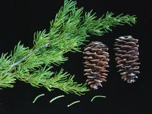 branchlet, needles and cones