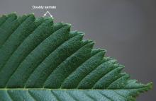 leaf margin and upper surface