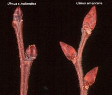 winter twig and buds, comparison