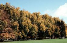 tree row, fall