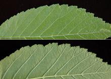 leaf and margins