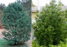 plant habit, shrub