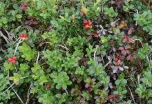 plant habit, Alaska bog