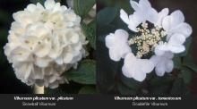 flower cluster, comparison